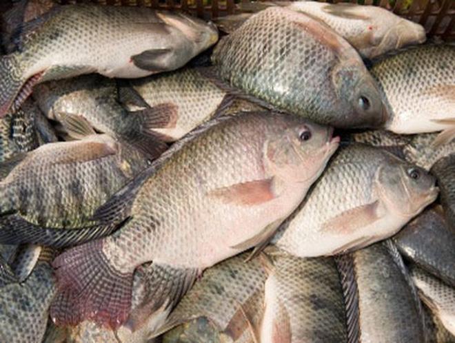 Cơ hội xuất khẩu 20 đến 40 tấn cá tra và cá rô phi mỗi tháng sang thị trường Liên bang Nga