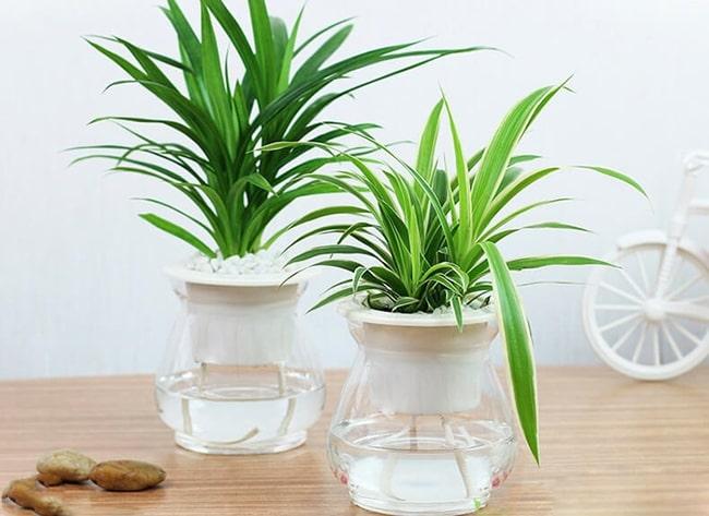 Những loại cây chỉ cần có nước là sống, trồng trong nhà giúp hút khí độc, lợi phong thủy
