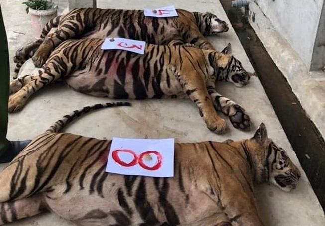 """Vụ """"giải cứu"""" 17 con hổ, 8 con chết: Ai chịu trách nhiệm?"""