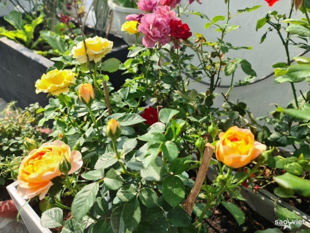 Trong những ngày giãn cách xã hội người đẹp doanh nhân Kim Chi đã dành nhiều thời gian chăm sóc nhà và trồng cho mình một vườn hoa hồng ở ban công để thưởng ngoạn